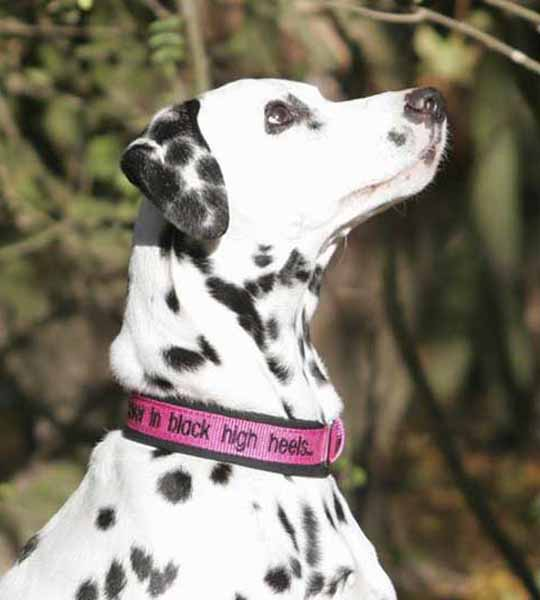 Individual Dog Collar for a Dalmatiner